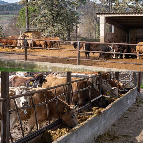 produccion intensiva carne ternera
